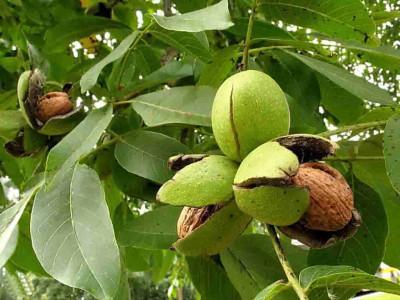 <Грецкие орехи